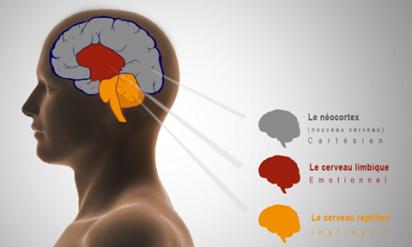 les 3 cerveaux limbique reptillien cortex neocortex cortex préfrontal émotions thaon sylvie tsp coaching.png